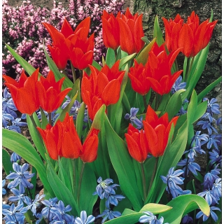 Tulipan botaniczny - Tubergen's Variety - 5 szt.