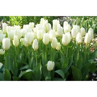 Tulipan niski - White Purissima - 5 szt.
