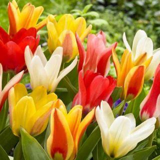Tulipan botaniczny - niski - mix kolorów - 5 szt.