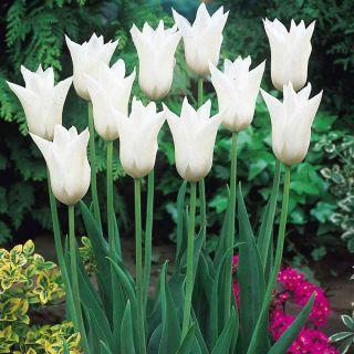 Tulipan White Wings - opak. 5 szt.