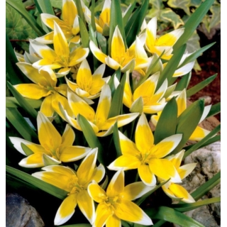 Zestaw 6 - Tulipan Tarda - botaniczny niski - 50 szt.