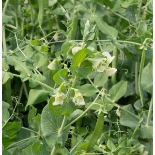 Peluszka, Groch siewny pastewny na poplon - 1000 gram