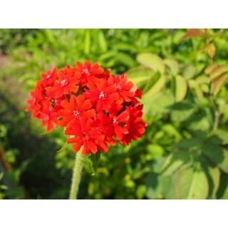 Firletka chalcedońska - mieszanka kolorów