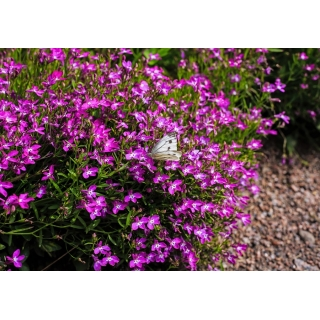 Lobelia Mitternachtsblau - fioletowa