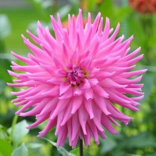 Dalia kaktusowa różowa - Dahlia cactus Pink