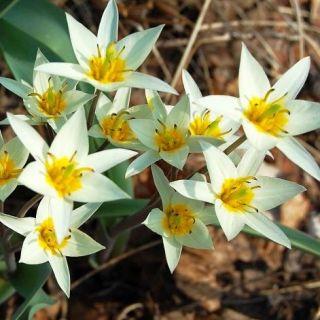 Tulipan Turkestanica - opak. 5 szt.