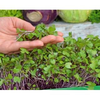 Microgreens - Kalarepa - młode listki o unikalnym smaku