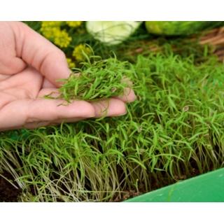 Microgreens - Koper ogrodowy - młode listki o unikalnym smaku