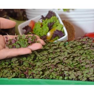 Microgreens - Pachnotka zwyczajna fioletowa - młode listki o unikalnym smaku