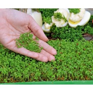 Microgreens - Rzeżucha - młode listki o unikalnym smaku