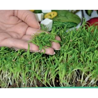 Microgreens - Szpinak - młode listki o unikalnym smaku