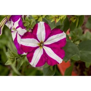 Petunia o kwiatach dwubarwnych Starlet F2 - purpurowa