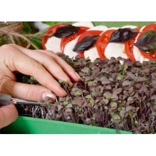 Microgreens - Bazylia właściwa czerwona Dark Opal - młode listki o unikalnym smaku