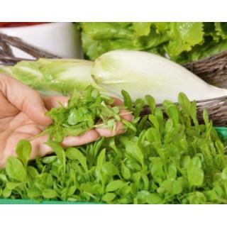 Microgreens - Cykoria liściowa - młode listki o unikalnym smaku