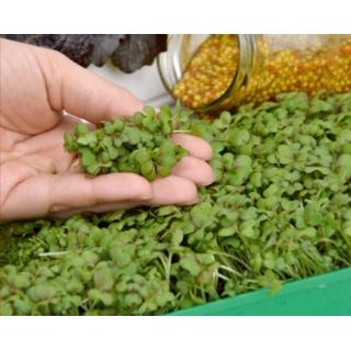 Microgreens - Gorczyca sarepska - młode listki o unikalnym smaku