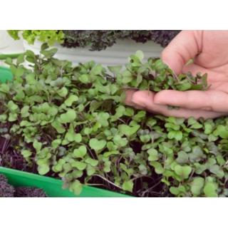 Microgreens - Jarmuż czerwony Scarlet - młode listki o unikalnym smaku
