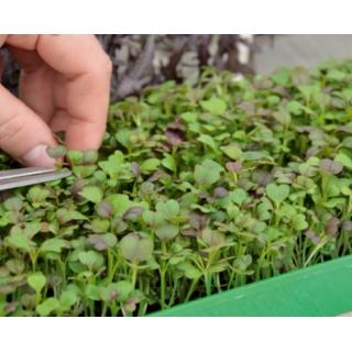 Microgreens - Kapusta mizuna - młode listki o unikalnym smaku