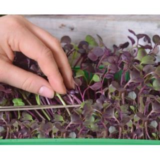 Microgreens - Rzodkiew - młode listki o unikalnym smaku
