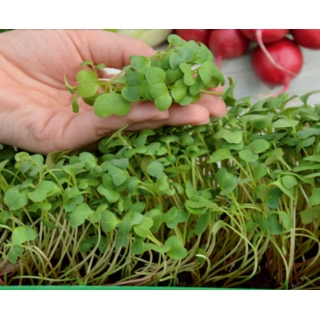 Microgreens - Rzodkiewka czerwona - młode listki o unikalnym smaku