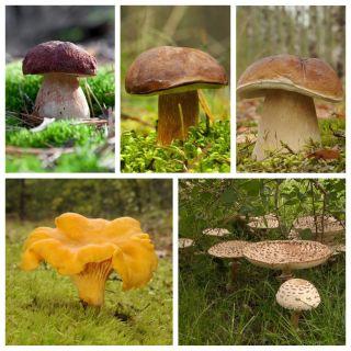 Zestaw grzybów pod świerki + kania - 5 gatunków - grzybnia