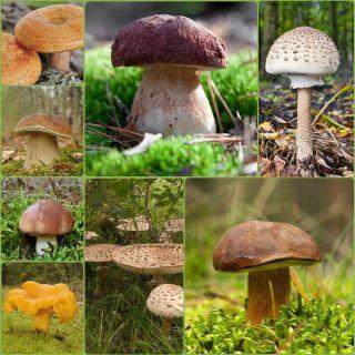 Zestaw grzybów pod drzewa iglaste + kania - 7 gatunków - grzybnia