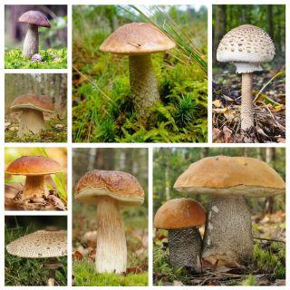 Zestaw grzybów pod drzewa liściaste + kania - 7 gatunków - grzybnia