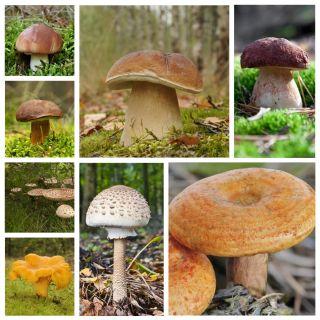 Zestaw grzybów pod sosny + kania - 7 gatunków - grzybnia