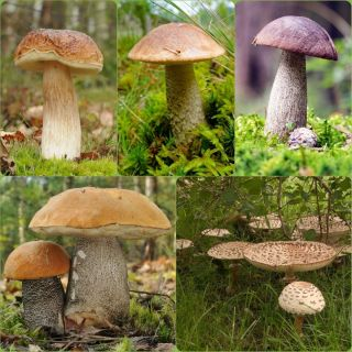 Zestaw grzybów pod brzozy + kania - 5 gatunków - grzybnia