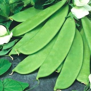 Groch Bajka - siewny, cukrowy, NASIONA ZAPRAWIANE