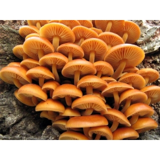 Zestaw opieniek - 3 gatunki - grzybnia na kołkach