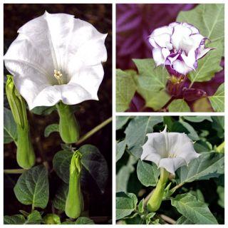 Bieluń - zestaw 3 odmian nasion kwiatów