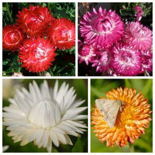 Kocanka - zestaw 4 odmian nasion kwiatów