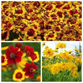 Nachyłek - zestaw 3 zjawiskowych odmian nasion kwiatów