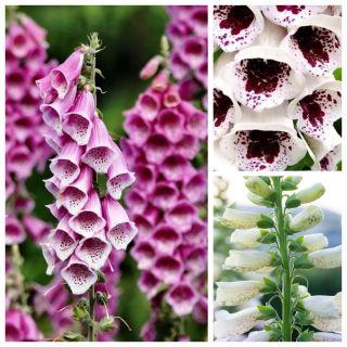 Naparstnica - zestaw 3 odmian nasion kwiatów