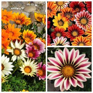 Gazania - zestaw 3 odmian nasion kwiatów