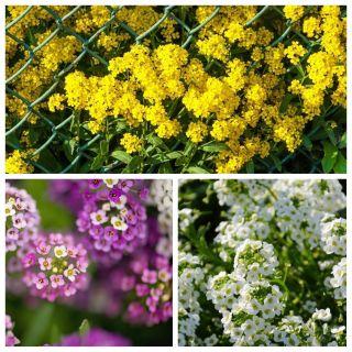 Smagliczka - zestaw 3 odmian nasion kwiatów