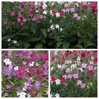 Tytoń - zestaw 3 odmian nasion kwiatów