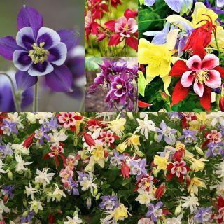 Orliki - kolorowa wariacja - zestaw 3 odmian nasion kwiatów