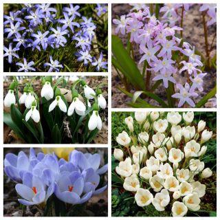 Zestaw roślin kwitnących wczesną wiosną - 50 szt.