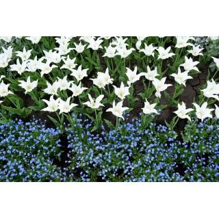 Tulipan liliokształtny biały i niezapominajka alpejska niebieska - zestaw cebulek i nasion