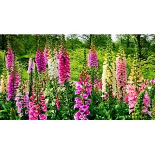 Naparstnica - zestaw 4 odmian nasion kwiatów