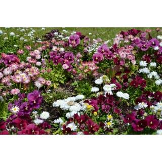 Bratek wielkokwiatowy + stokrotka wielkokwiatowa - zestaw 2 gatunków nasion