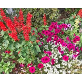 Smagliczka, petunia i szałwia błyszcząca - zestaw 3 gatunków nasion kwiatów