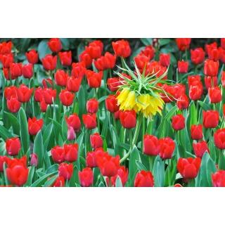 Zestaw - korona cesarska zółta i tulipan czerwony - 18 szt.
