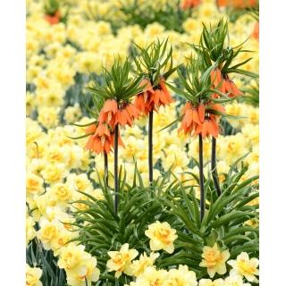 Zestaw - korona cesarska pomarańczowa i narcyz żółty - 18 szt.