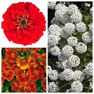 Mieszanka kwiatów - Tango - NA TAŚMIE