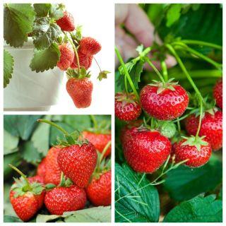 Truskawka - zestaw 3 apetycznych odmian owoców