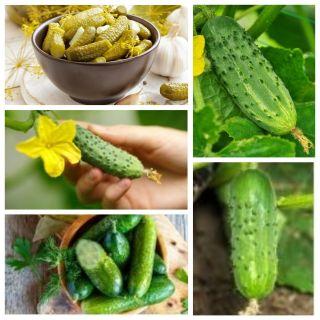 Ogórek korniszonowy - zestaw 5 odmian nasion warzyw