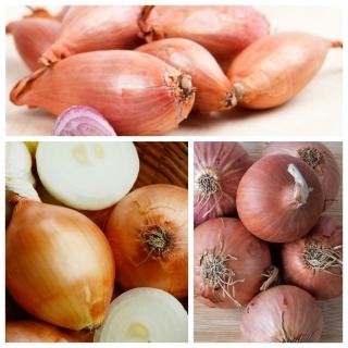 Cebula szalotka - zestaw 3 odmian nasion warzyw