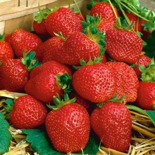Truskawka Elegance - o dużych i trwałych owocach - 20 sadzonek XL